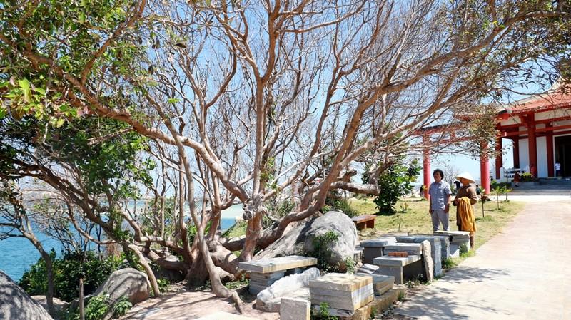 Đại đức từng là Bộ đội Cụ Hồ trồng 100 cây bàng vuông ở chùa  - ảnh 5