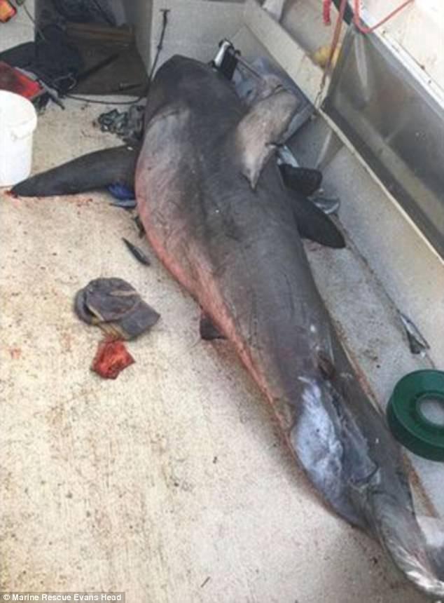 Con cá mập trắng sau khi hết vẫy đạp. Ảnh: FACEBOOK