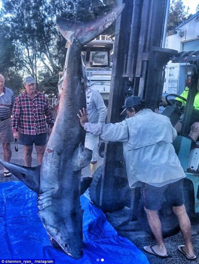 Lực lượng cứu hộ phải dùng dụng cụ nâng hàng hóa di chuyển con cá mập ra khỏi thuyền. Ảnh: INSTAGRAM