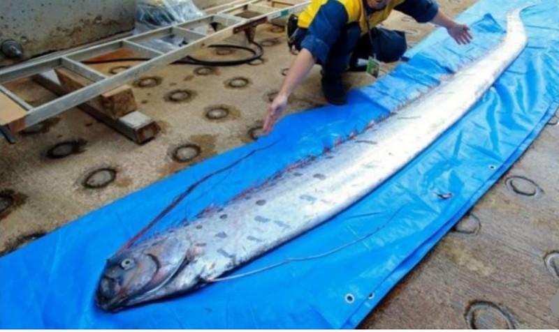 Một con cá mái chèo trôi giạt vào bờ biển Nhật. Ảnh: SCMP