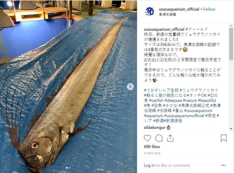 Người dân Nhật lo ngại cá mái chèo trôi vào bờ biển là điềm báo thảm họa động đất sóng thần. Ảnh: INSTAGRAM