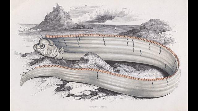 Bức họa cá mái chèo được vẽ từ năm 1850. Ảnh: CNN