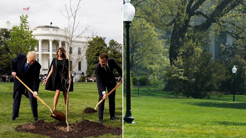 Vợ chồng ông Trump và vợ chồng ông Macron trồng cây sồi ở sân Nhà Trắng (ảnh trái), và bãi cỏ trống trơn sau khi cây sồi biến mất vài ngày sau (ảnh phải). Ảnh: REUTERS