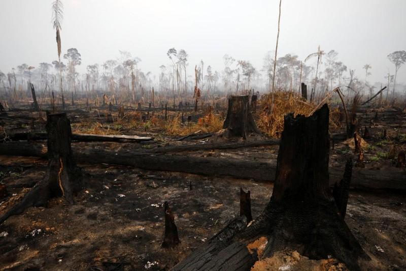 Cây rừng bị chặt, bỏ khô và cháy ở rừng Amazon. Ảnh: REUTERS