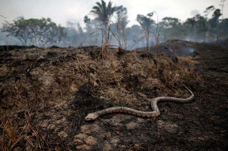 Rắn rừng Amazon chết vì cháy rừng. Ảnh: PBS