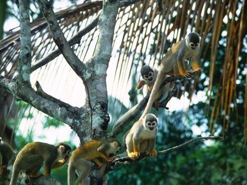 Khỉ sóc trong rừng mưa nhiệt đới Amazon. Ảnh: GETTY IMAGES