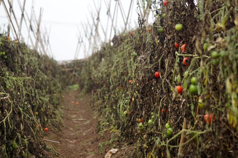 Cà chua chín rụng đỏ gốc, dân chẳng buồn thu hoạch - ảnh 3