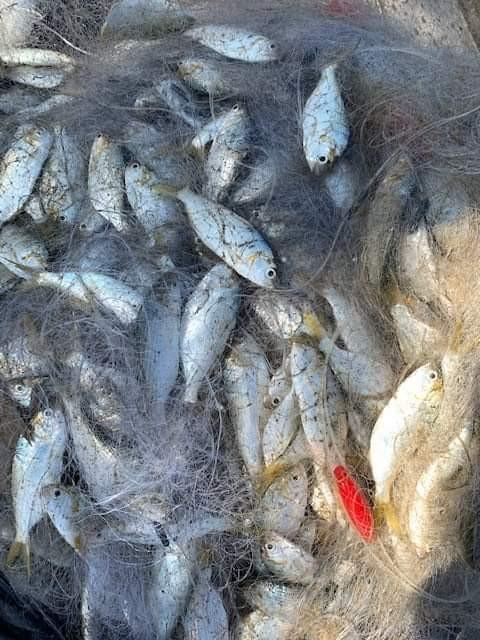 Về đập An Trạch săn cá mòi nhảy nước ngược - ảnh 2