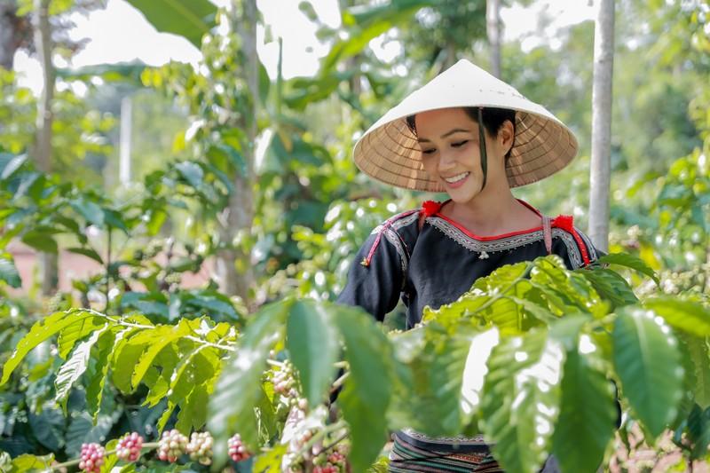Hoa hậu H'Hen Niê về quê hái cà phê - ảnh 2