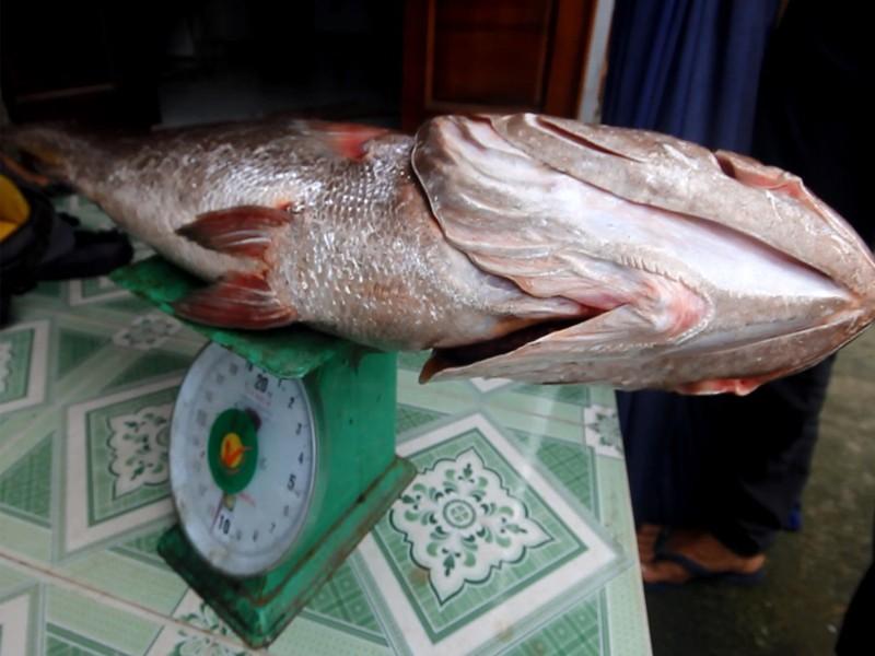 Câu được cá lớn 10 kg nghi cá sủ vàng quý hiếm - ảnh 1