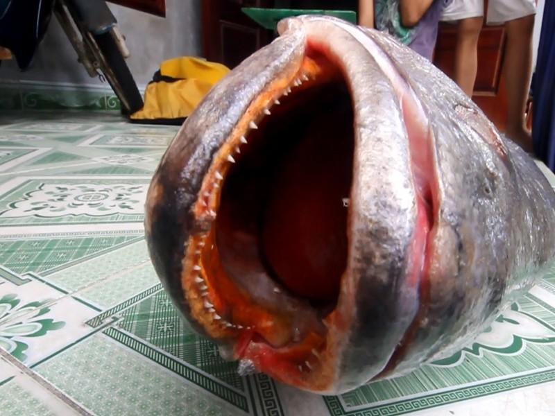 Câu được cá lớn 10 kg nghi cá sủ vàng quý hiếm - ảnh 2