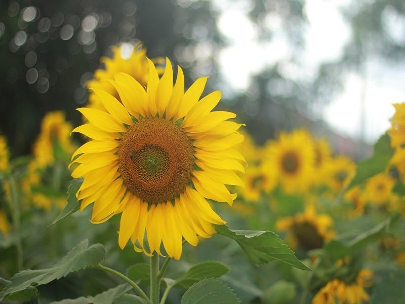 Giới trẻ rầm rộ check in vườn hoa mặt trời giữa lòng phố núi - ảnh 2