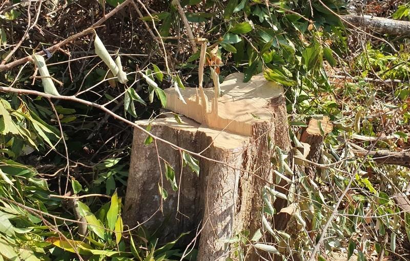 Lại phát hiện phá rừng quy mô lớn ở Đắk Lắk - ảnh 3