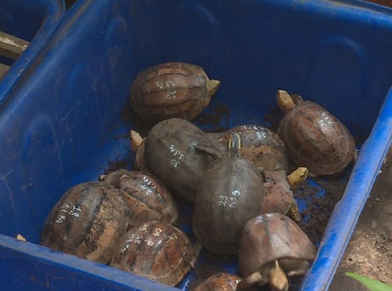 Làm rõ nguồn gốc 127 con rùa nuôi nhốt trong nhà 1 hộ dân - ảnh 2