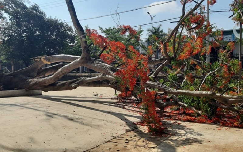 1 cây phượng trong sân trường ở Tây Nguyên bị bật gốc - ảnh 1