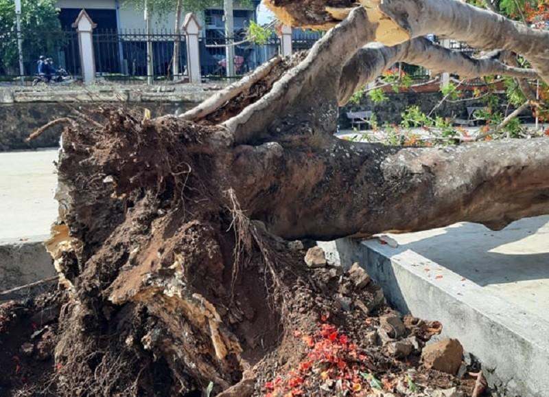 1 cây phượng trong sân trường ở Tây Nguyên bị bật gốc - ảnh 2