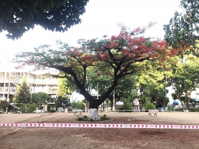Gia Lai: Trường muốn đốn 2 cây phượng cổ thụ mục rỗng - ảnh 2