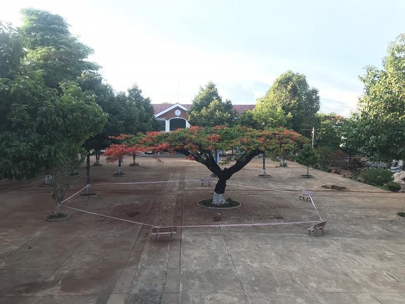 Gia Lai: Trường muốn đốn 2 cây phượng cổ thụ mục rỗng - ảnh 1