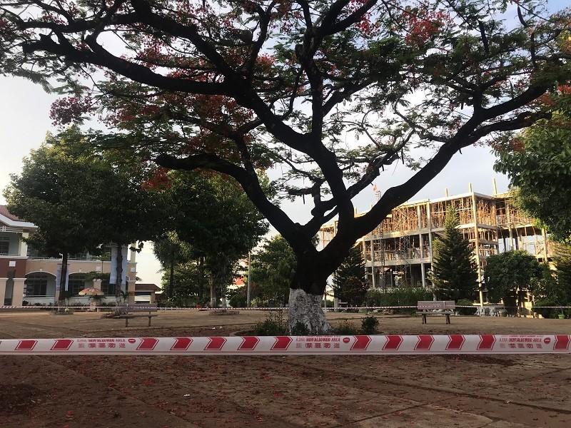 Gia Lai: Trường muốn đốn 2 cây phượng cổ thụ mục rỗng - ảnh 3