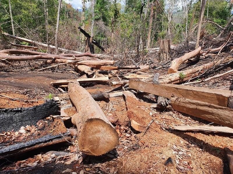 Xác định lượng gỗ bị lâm tặc cưa hạ ở rừng Kbang - ảnh 4