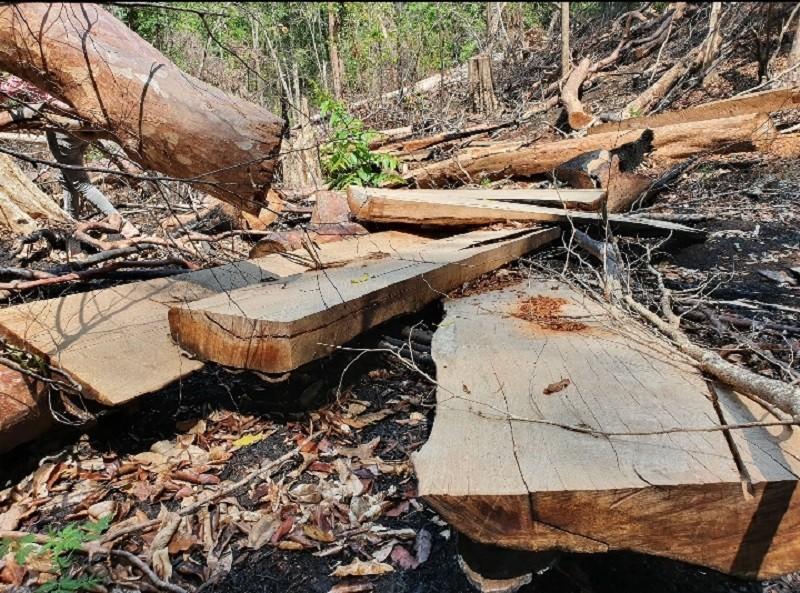 Xác định lượng gỗ bị lâm tặc cưa hạ ở rừng Kbang - ảnh 2