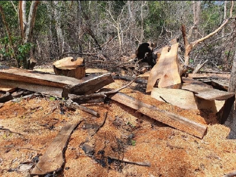 Xác định lượng gỗ bị lâm tặc cưa hạ ở rừng Kbang - ảnh 1