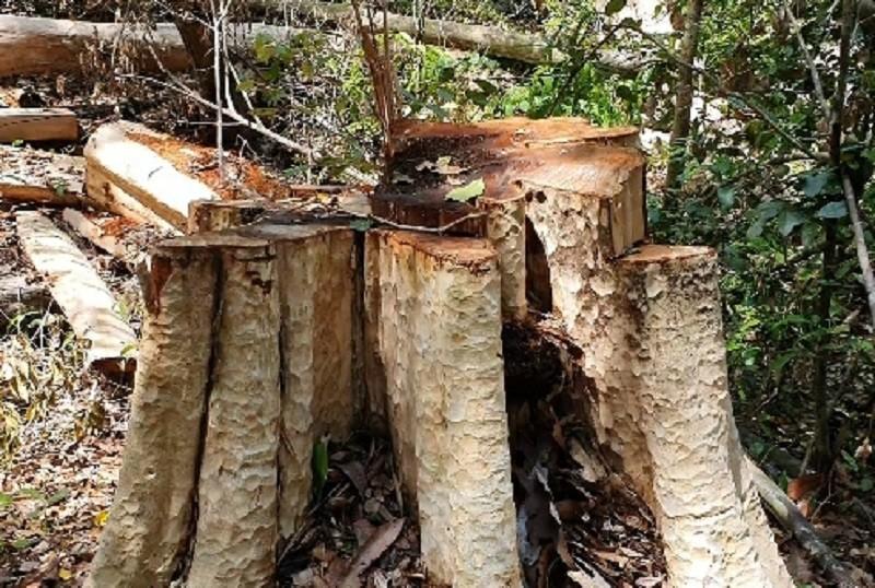 Xác định lượng gỗ bị lâm tặc cưa hạ ở rừng Kbang - ảnh 5