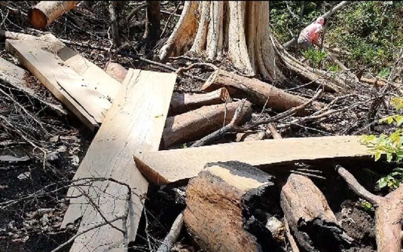 Xác định lượng gỗ bị lâm tặc cưa hạ ở rừng Kbang - ảnh 3