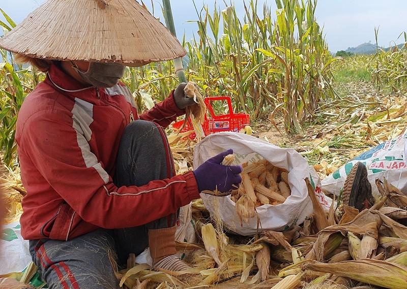 'Chuyện lạ' ở Đắk Nông: Trồng bắp toàn… cùi, không hạt - ảnh 5