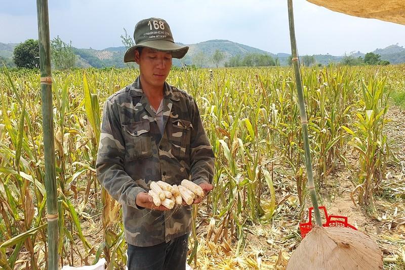 Thanh tra vào cuộc vụ bắp 'lạ' không hạt ở Đắk Nông - ảnh 2