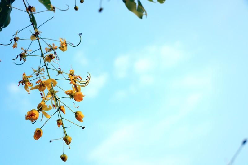 Sắc vàng quyến rũ trên những con đường ở Bình Dương - ảnh 10