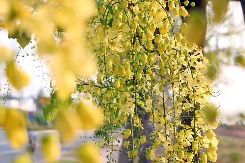 Sắc vàng quyến rũ trên những con đường ở Bình Dương - ảnh 9