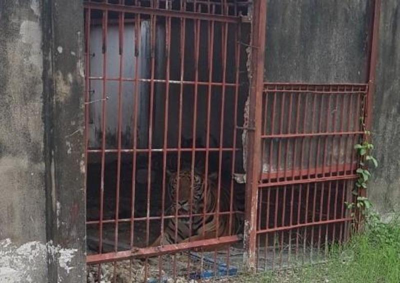 Hổ từng tấn công người ở cả 3 cơ sở nuôi nhốt tại Bình Dương  - ảnh 1