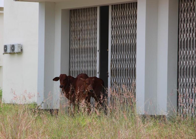 Bình Dương: Bệnh viện hàng trăm tỉ thành nơi trú ngụ của bò - ảnh 2