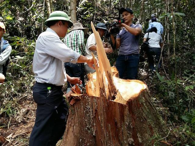 Lãnh đạo tỉnh băng rừng, chứng kiến cảnh phá rừng pơ mu tàn bạo - ảnh 1