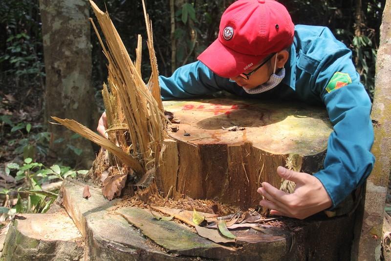 Rừng Quảng Nam lại bị chặt phá không thương tiếc - ảnh 3