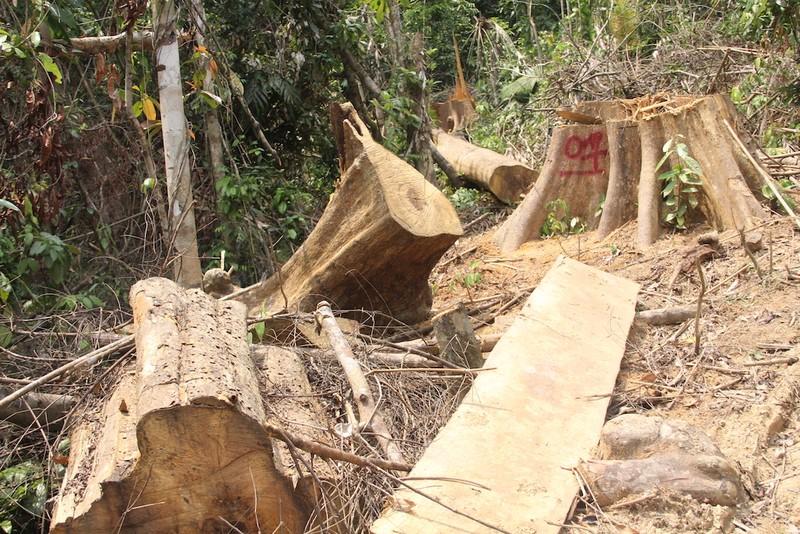Rừng Quảng Nam lại bị chặt phá không thương tiếc - ảnh 2