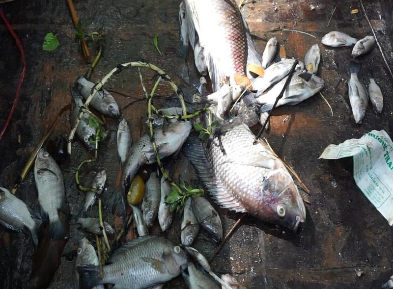 Từ sáng nay cá chết trắng kênh Phú Lộc, Đà Nẵng - ảnh 1