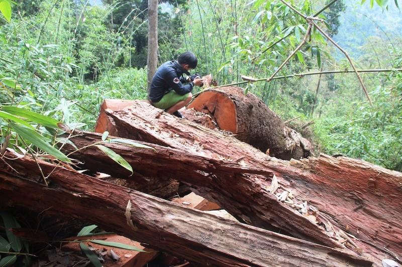 1 giám đốc bị bắt vì hạ rừng phòng hộ - ảnh 1