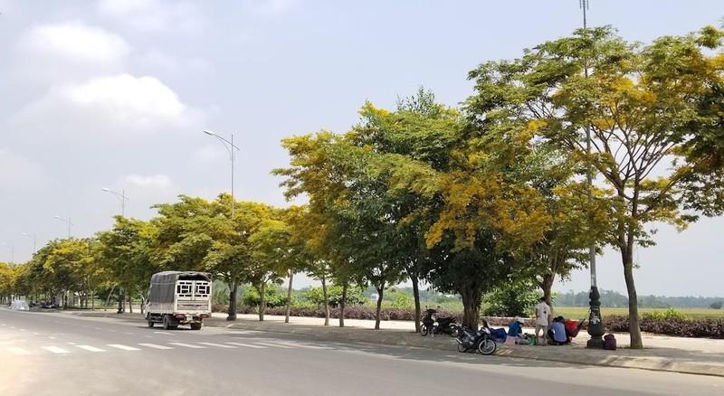 Mê mẩn ngắm hoa sưa nhuộm vàng phố phường Quảng Nam - ảnh 9