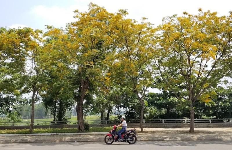Mê mẩn ngắm hoa sưa nhuộm vàng phố phường Quảng Nam - ảnh 10