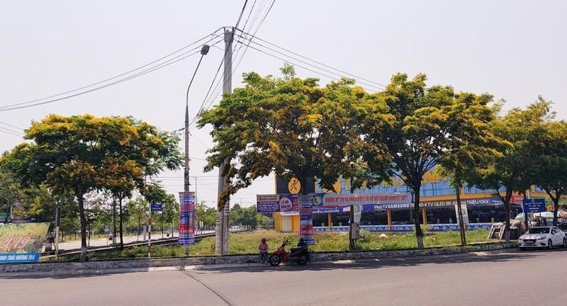 Mê mẩn ngắm hoa sưa nhuộm vàng phố phường Quảng Nam - ảnh 11