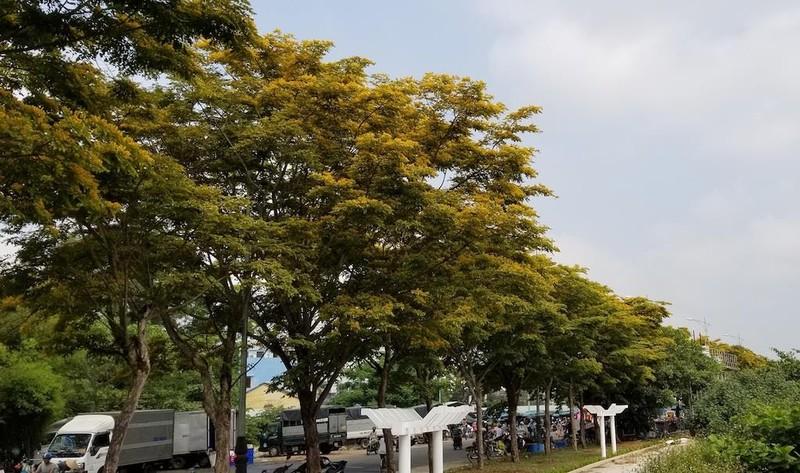 Mê mẩn ngắm hoa sưa nhuộm vàng phố phường Quảng Nam - ảnh 2