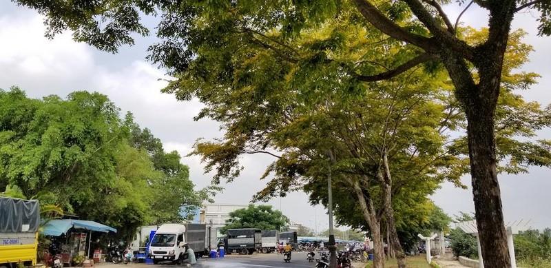 Mê mẩn ngắm hoa sưa nhuộm vàng phố phường Quảng Nam - ảnh 4