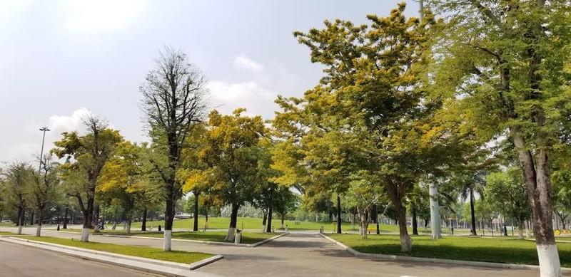 Mê mẩn ngắm hoa sưa nhuộm vàng phố phường Quảng Nam - ảnh 5