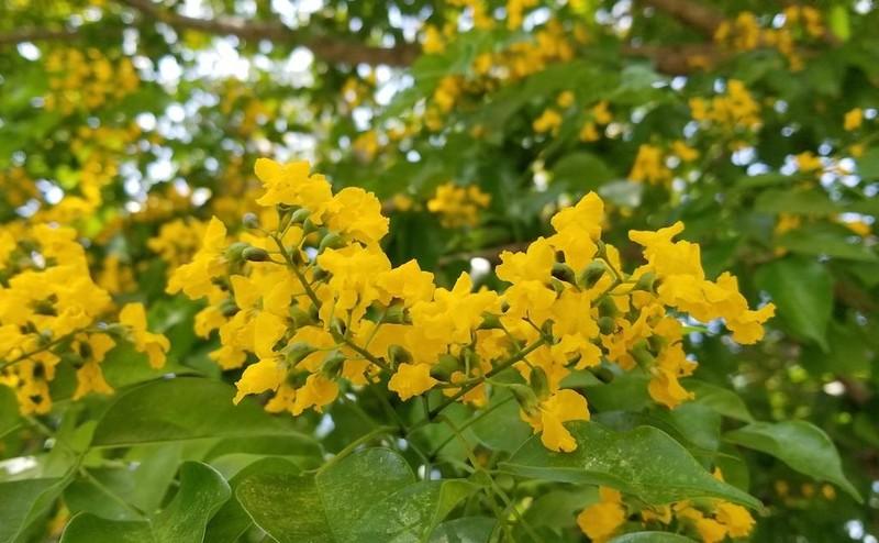 Mê mẩn ngắm hoa sưa nhuộm vàng phố phường Quảng Nam - ảnh 6