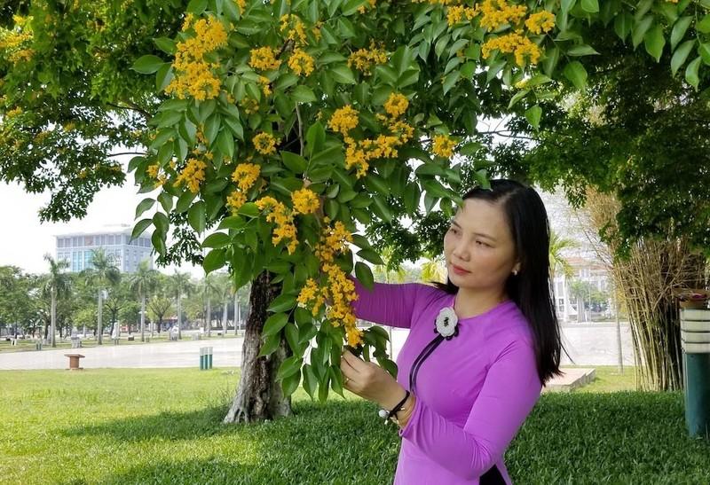 Mê mẩn ngắm hoa sưa nhuộm vàng phố phường Quảng Nam - ảnh 8