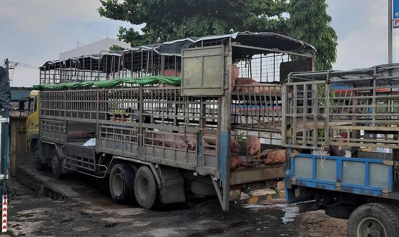 Phạt tám triệu đồng xe chở 39 con heo bị dịch tả heo châu Phi - ảnh 1