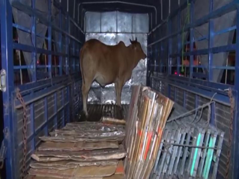 Tài xế chở bò ăn trộm chạy thẳng tới công an - ảnh 2