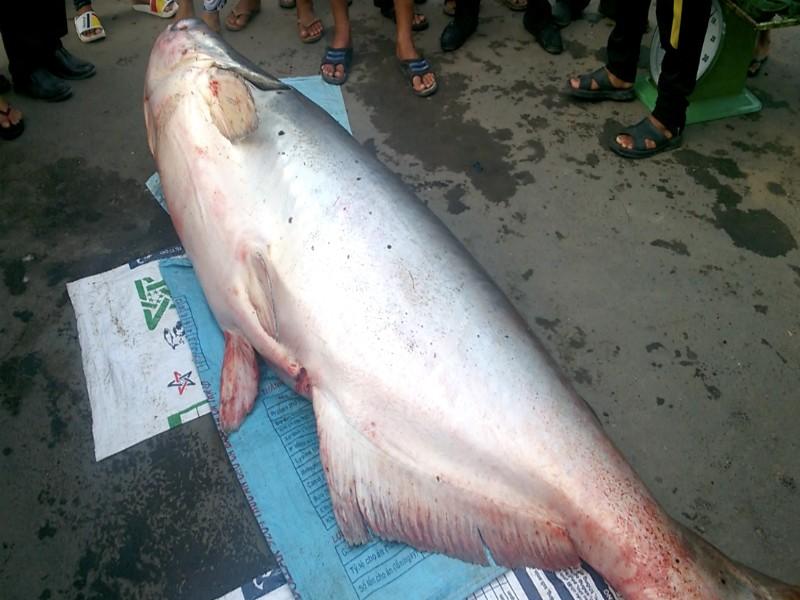 Bắt được cá tra dầu 'khủng' dài 2,5 m, nặng 240 kg  - ảnh 1